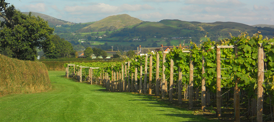 Kerry Vale In Shropshire Now Running Wine Tours Around Their Historic Vineyard
